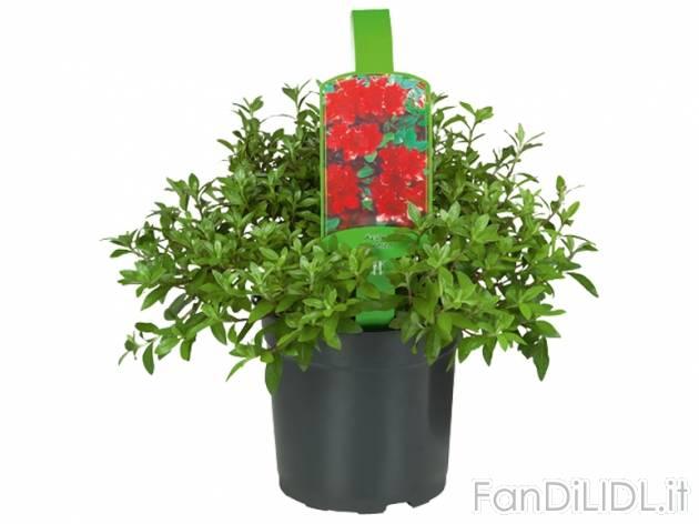 Rododendro o azalee fiori fan di lidl - Rododendro prezzo ...