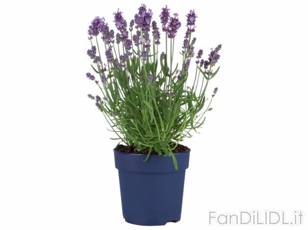 Lavanda fiori fan di lidl for Lavanda coltivazione in vaso