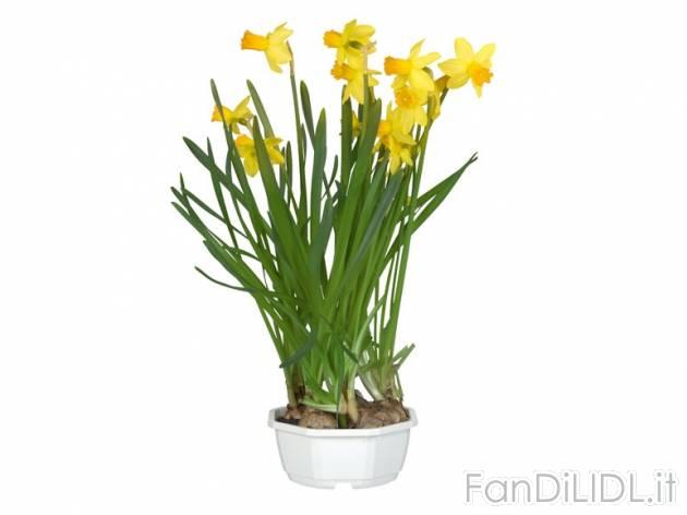 Elegant Narcisi , Prezzo 2,99 U0026#8364; Per   Vaso Diametro 12 Cm