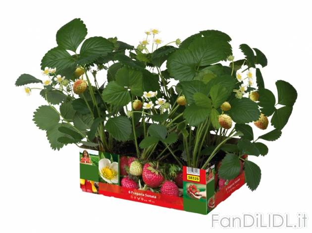 piantine di fragole fiori fan di lidl