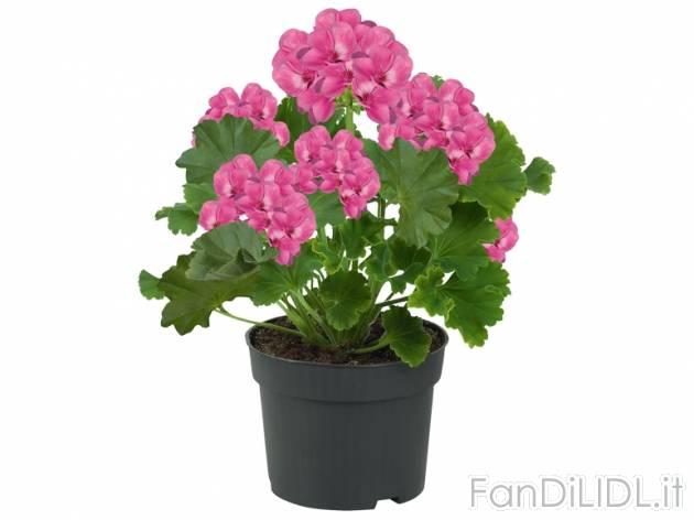 Gerani fiori fan di lidl for Fiori gerani